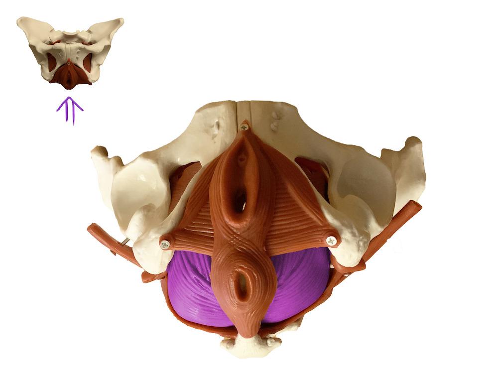 beckenboden-innerste-schicht-levator-ani